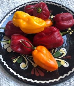 Foto van gele, rode en oranje Madame Jeanette Pepers